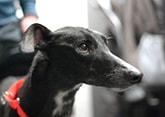 retired greyhound