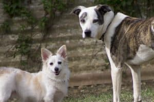 adult dogs