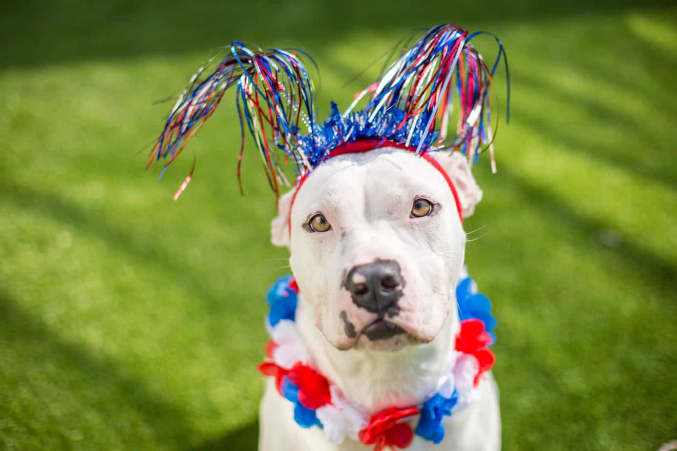 Why Dogs Don T Like Fireworks