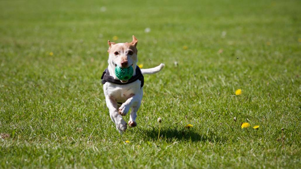 dog running with ball for dog walk schedule