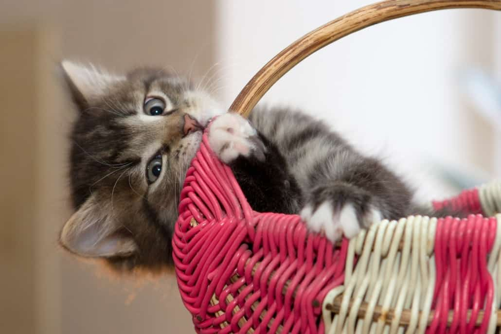 Kitten chews on basket