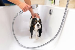 Cavalier spaniel being bathed