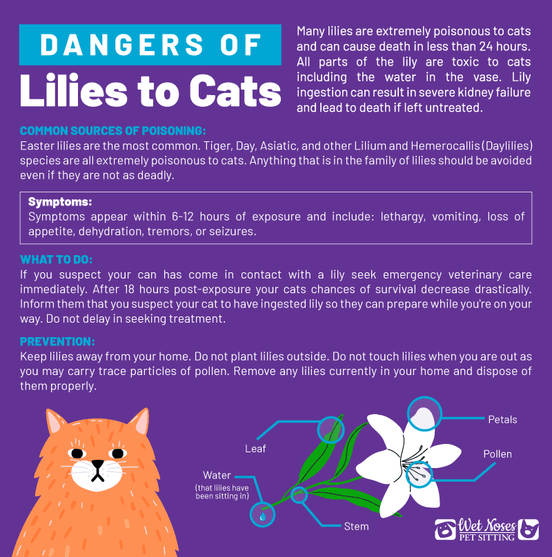 Dangers of Lilies to Cats Infographic