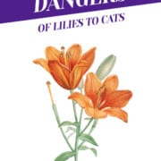 Dangers of Lilies to Cats Header